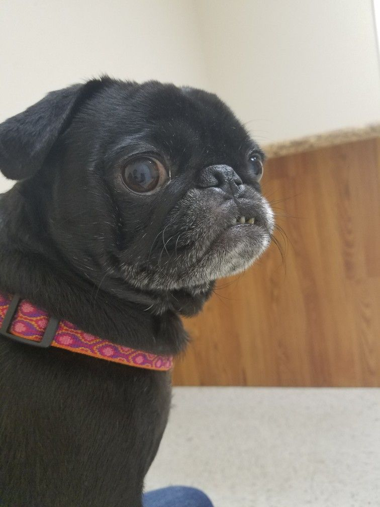 L waiting at the vet 2016 Cute dogs, Fur kids, Fawn pug