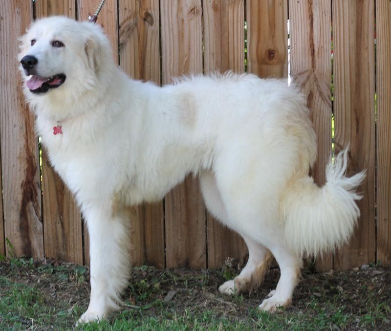 Adopt Tessa On Rottweiler Puppies Big Fluffy Dog Rescue Big