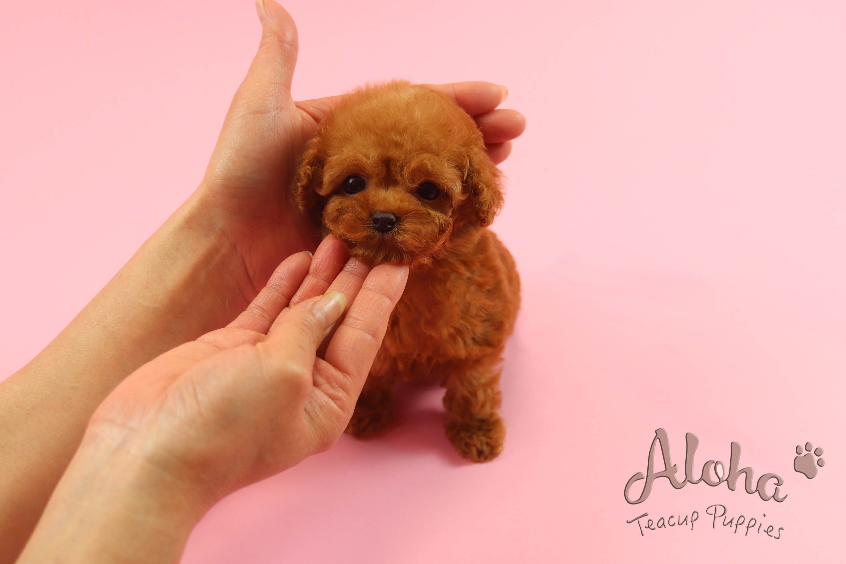 Hello, BAMBI🐶 ️Perfect Teddy Bear Face, She is dressed in