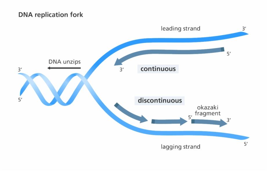 dna replication Βιολογία