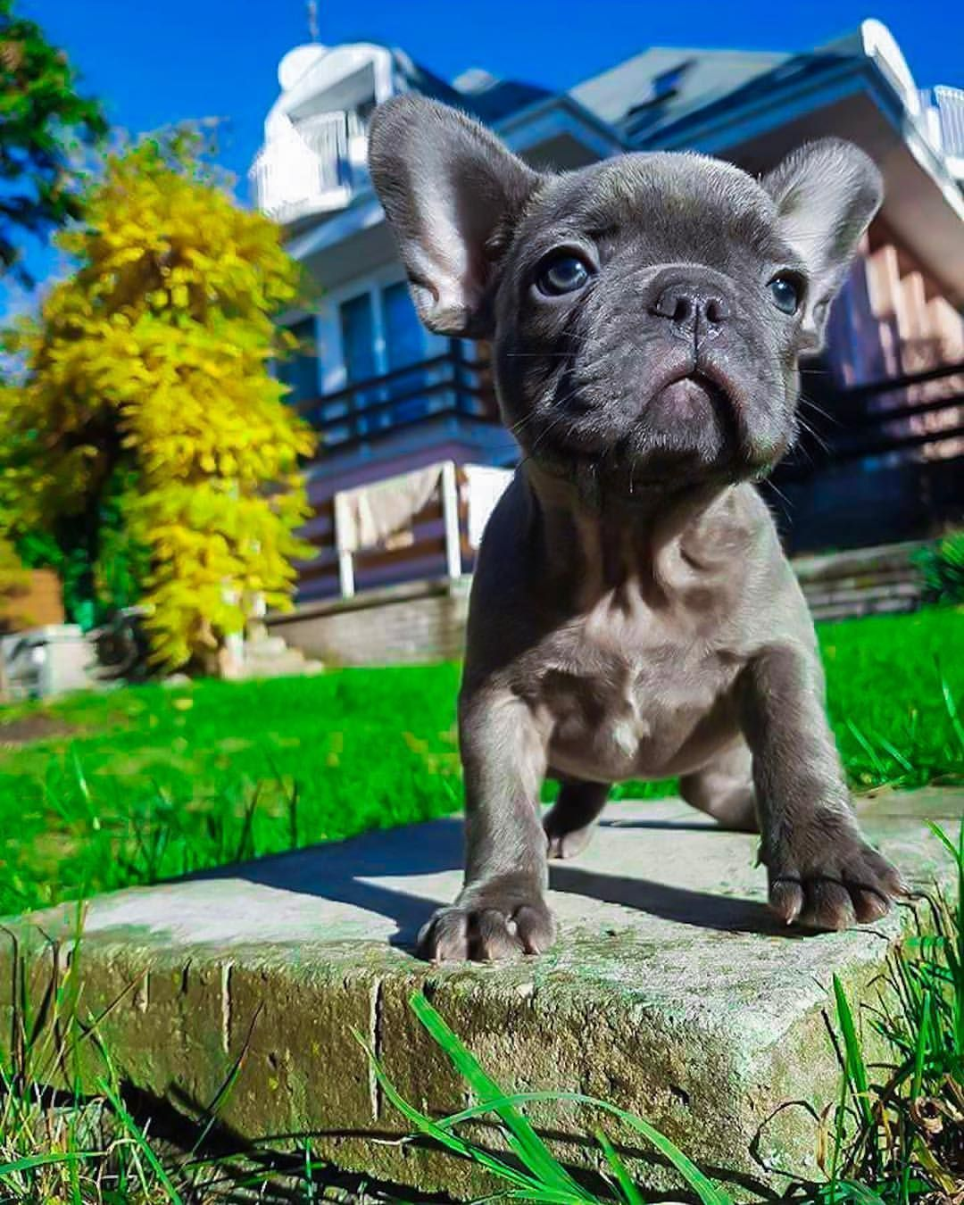 Yugen A Blue Fawn French Bulldog Puppy Buldog Frenchbulldogs