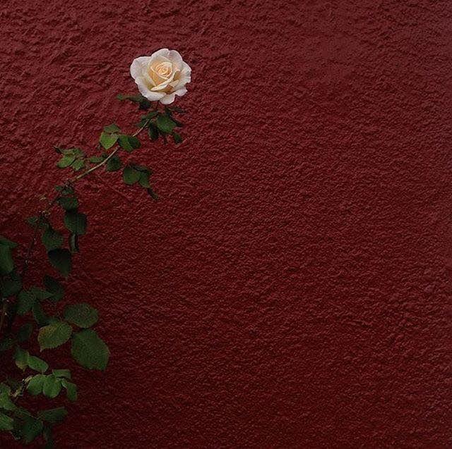 rose albert samain