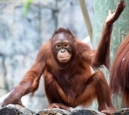 Young orangutan image via Tampa's Lowry Park Zoo at www.Facebook.com/TampaZoo