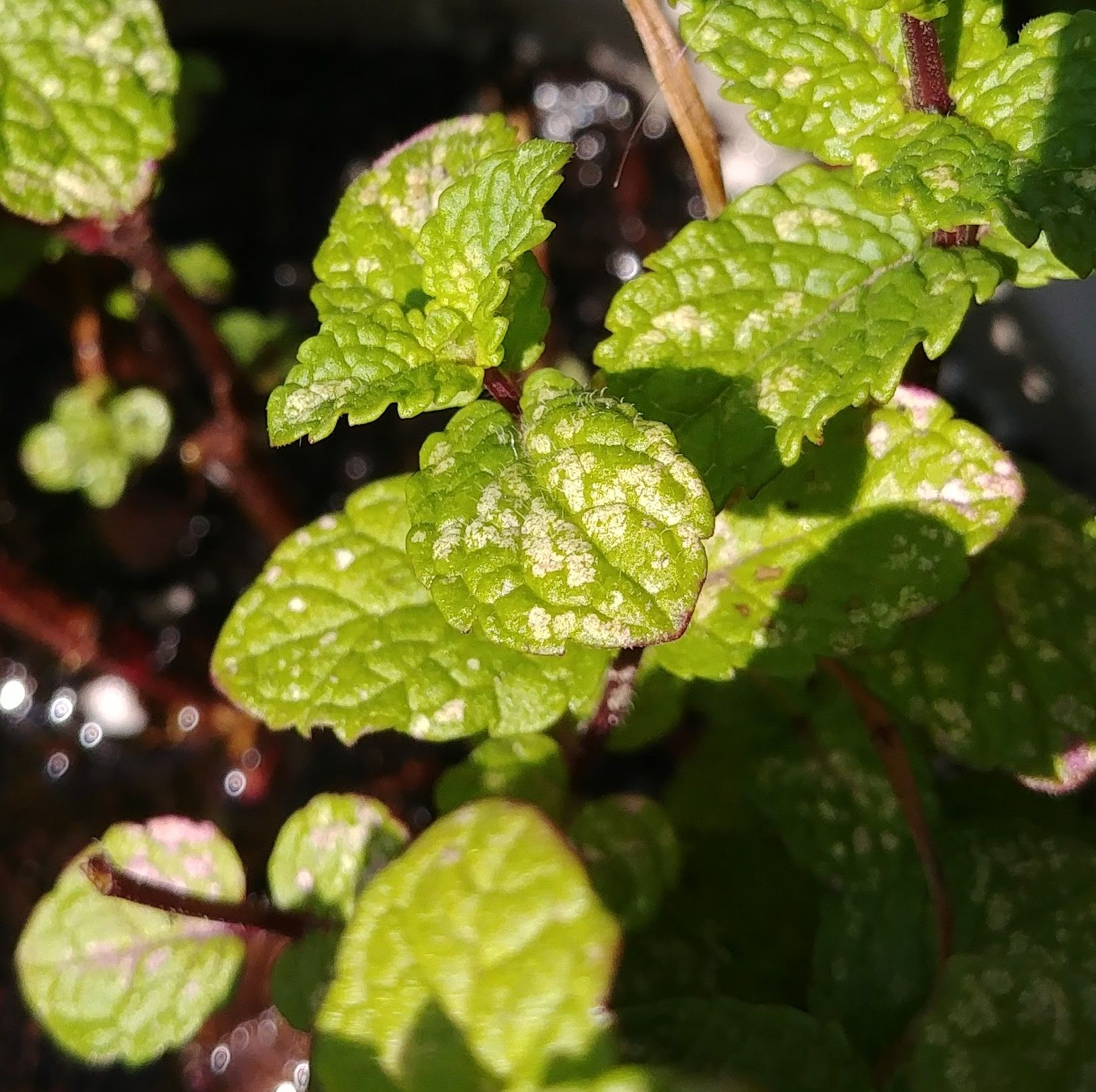Trying to figure out what these white spots are on my mint ...