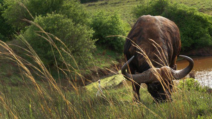 Cape Buffalo http://ift.tt/1Wl3drI