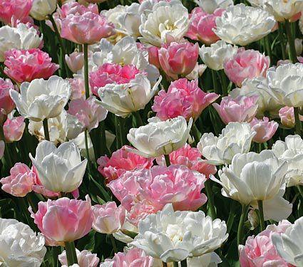 Ambrosia Double Tulip Collection - Mount Tacoma & Angelique