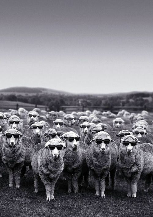 Damn...we raised sheep for years and never got them sunglasses...poor things, I had no idea!