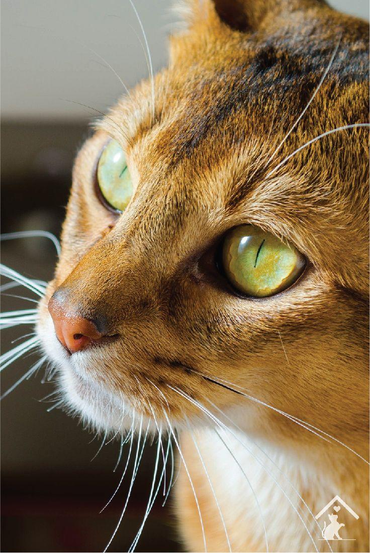 Abyssinian Cat Seattle