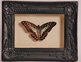 Opgezette vlinder in oude lijst  - V0015