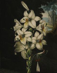 thornton the white lily - Cerca con Google