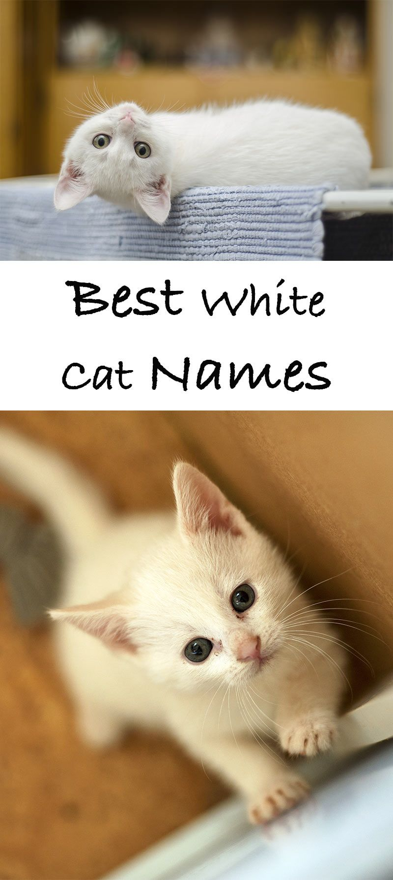 Names For White Cats Our Top 100 White Cat Names Cat Names Munchkin Cat White Cats