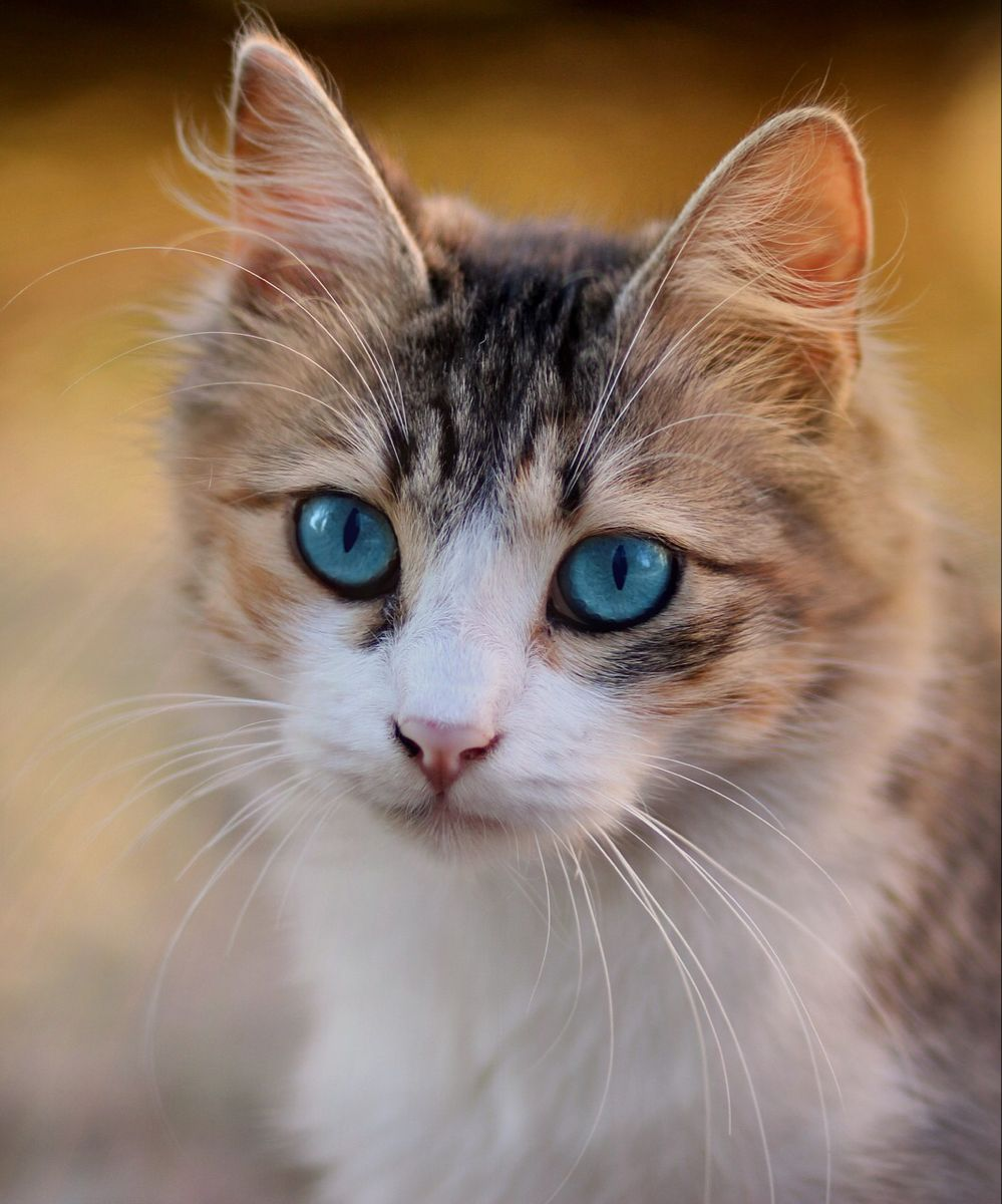 Beautiful Cat In 2020 Cats Cat With Blue Eyes Cat Pics