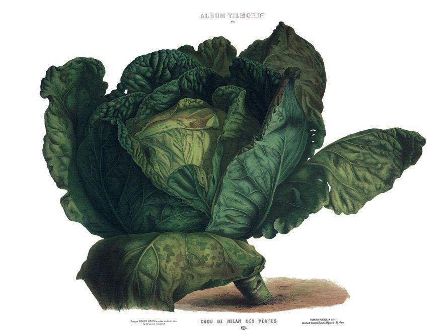 Cabbage Botanical Art Botanical Illustration Vegetable Prints