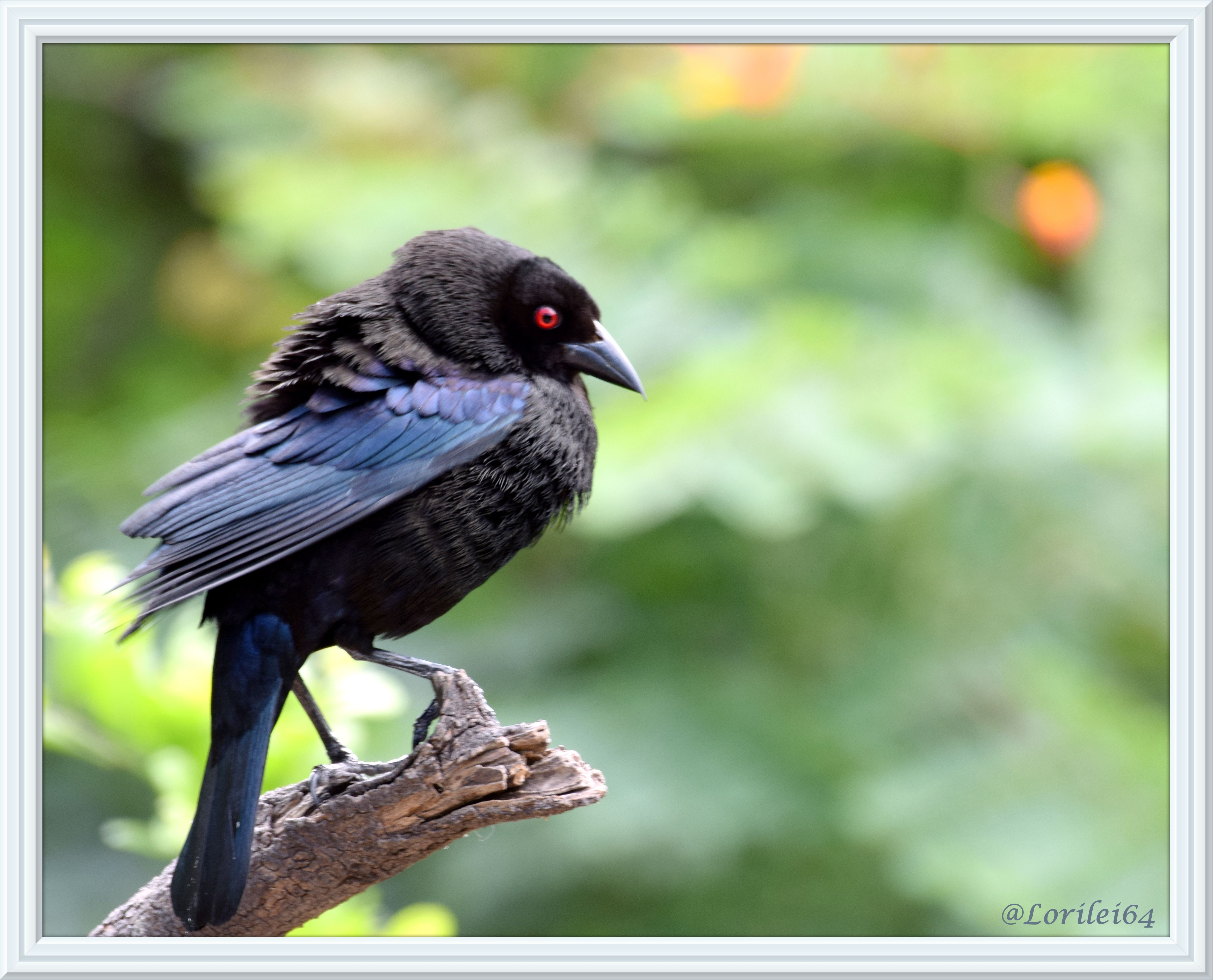 One of my favorite birds. A stunning bronzed cowbird.