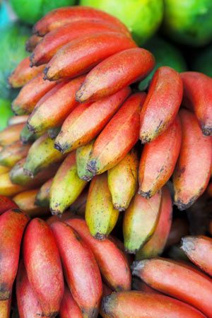 Banana Dwarf Red Dacca Just Planted Red Banana Plant