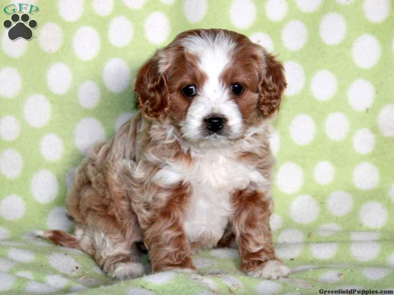 Stella Cavapoo Puppy For Sale From Paradise Pa Cute Animals