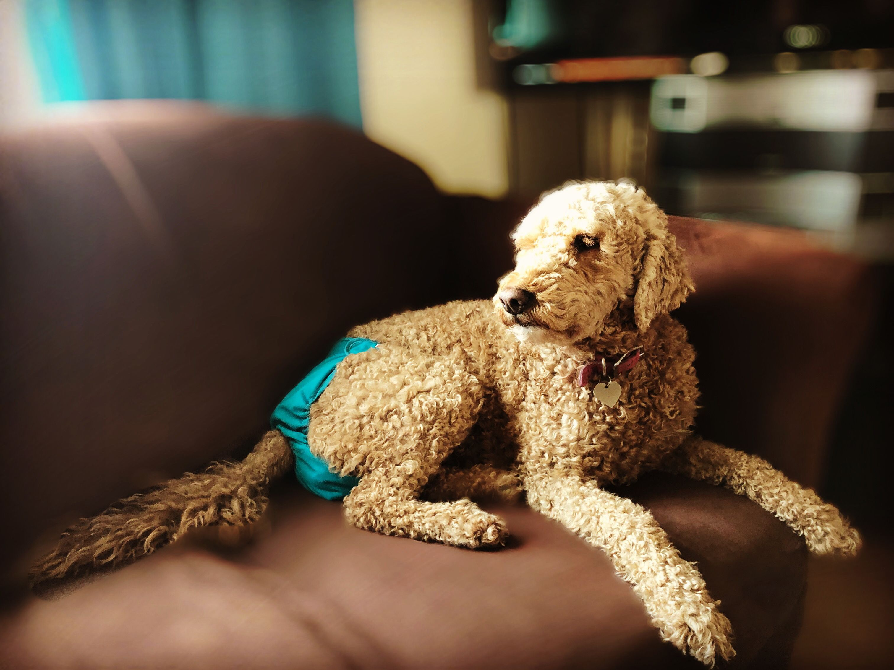 Goldendoodle In 2020 Goldendoodle Your Dog Dogs