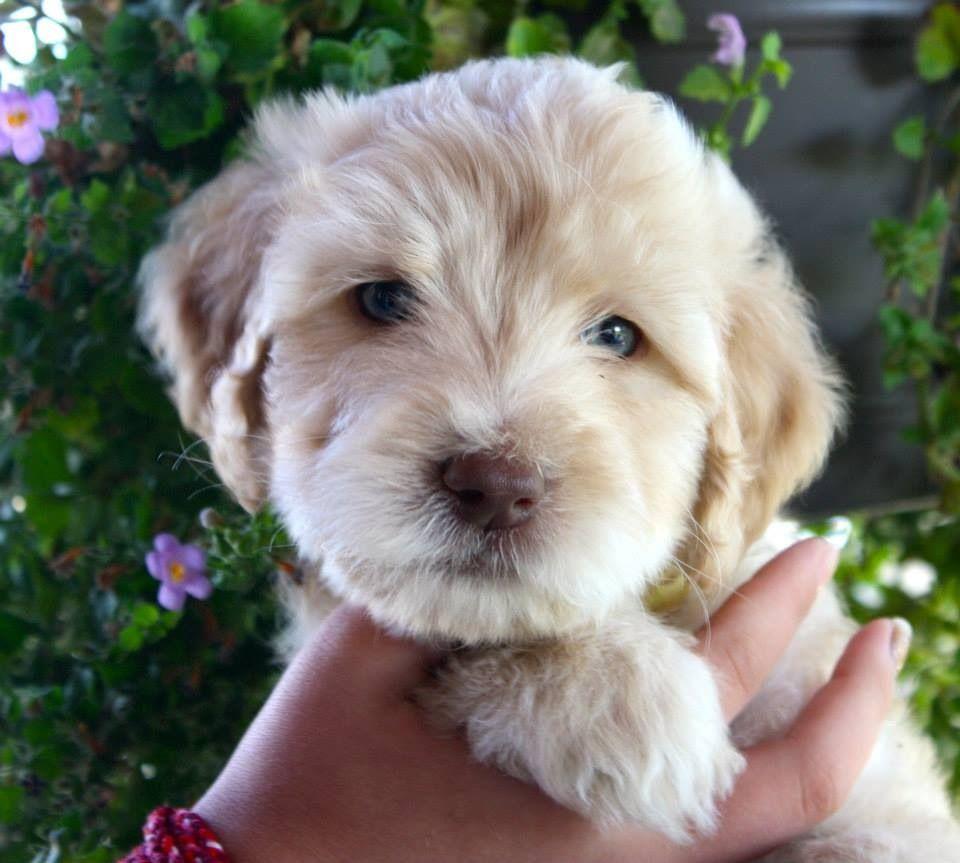 Monty at 6 weekssuch a cutie hunde