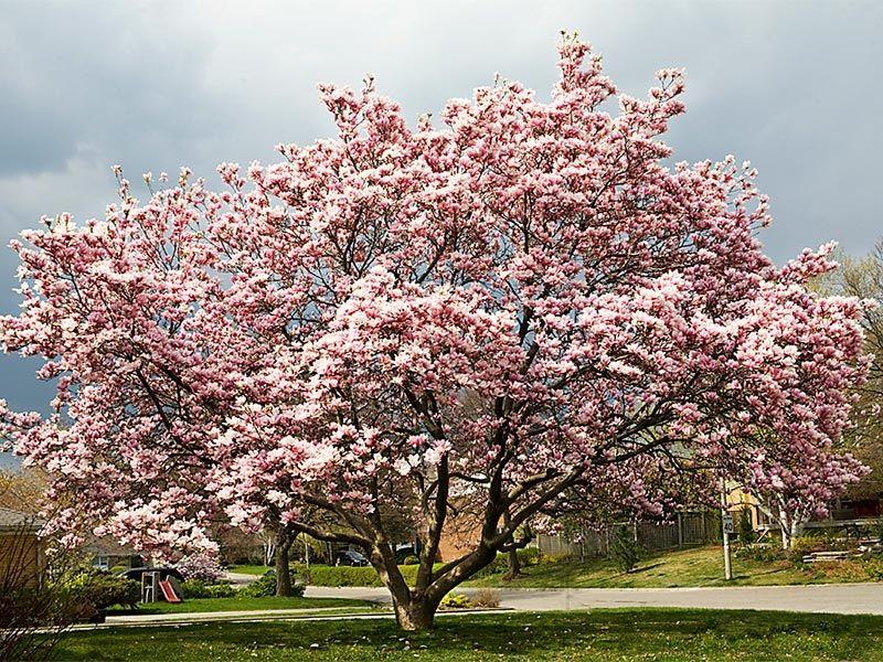 Maenam Wildlife Sanctuary In Sikkim India Magnolia Trees White Magnolia Tree Magnolia Trees For Sale