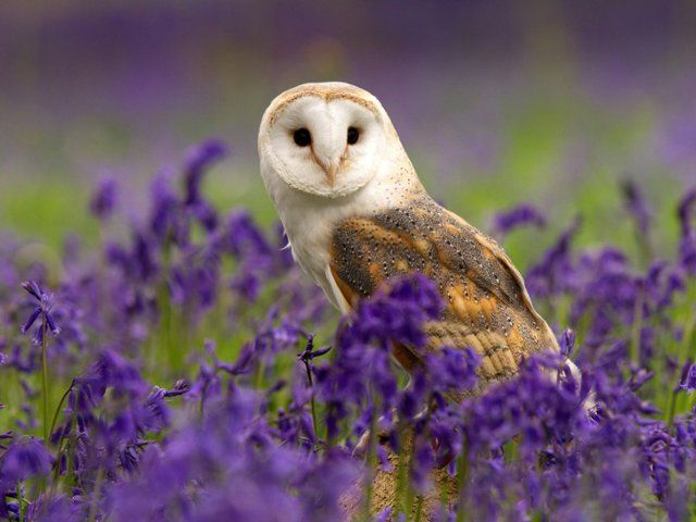 Free Wallpaper Desktop Wallpaper And Free Screensavers Barn Owl Pet Birds Pet Birds Parrots