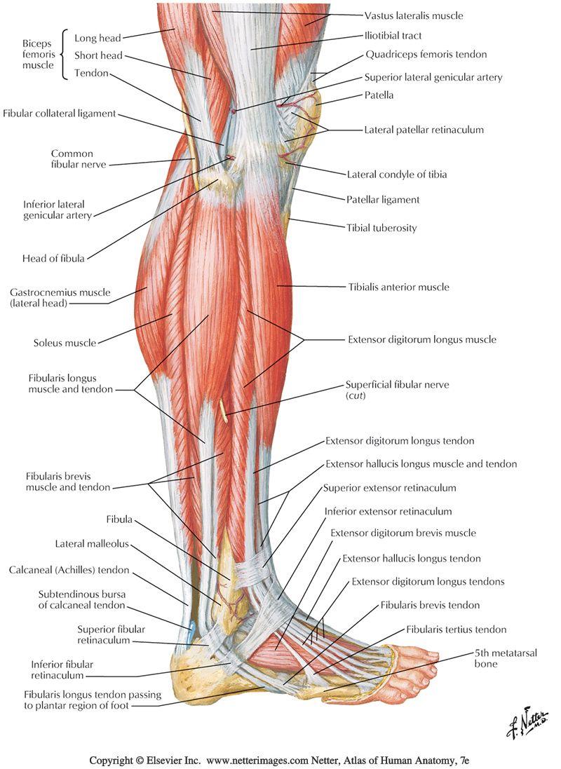 lower leg nerve diagram motor wiring single phase reversible nerves sg limb anterior human body legs