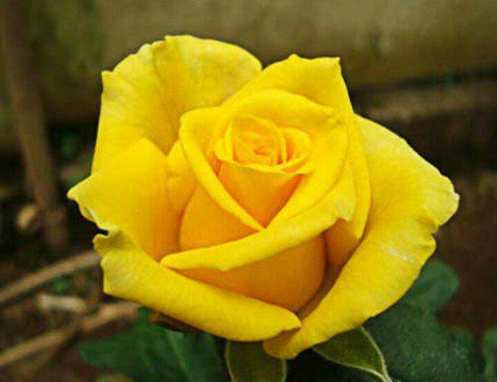 เราและนายก บก หลาบส เหล อง Twitter Search Yellow Roses Rose Flowers