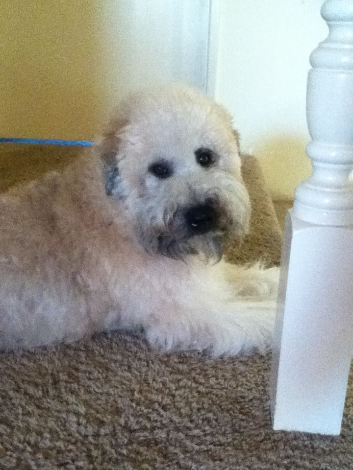 Darby softcoated wheaton terrier wheaton terrier soft