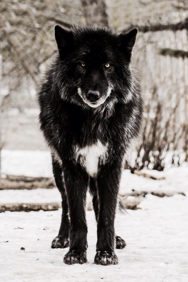 Pin von •SALLY• auf WOLVES Wolf hunde, Tiere