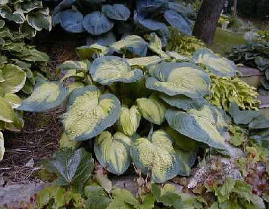 Color Glory Funkia Hosta Varieties Hostas Hosta Gardens