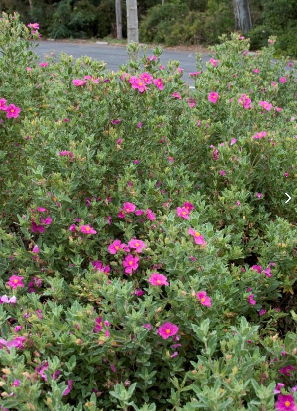 Cistus x purpureus \'Brilliancy\' | -Cistus: Jara o Estepa; arbusto ...