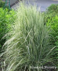 Calamagrostis acutiflora 39 overdam 39 variegated reed grass for Variegated ornamental grass