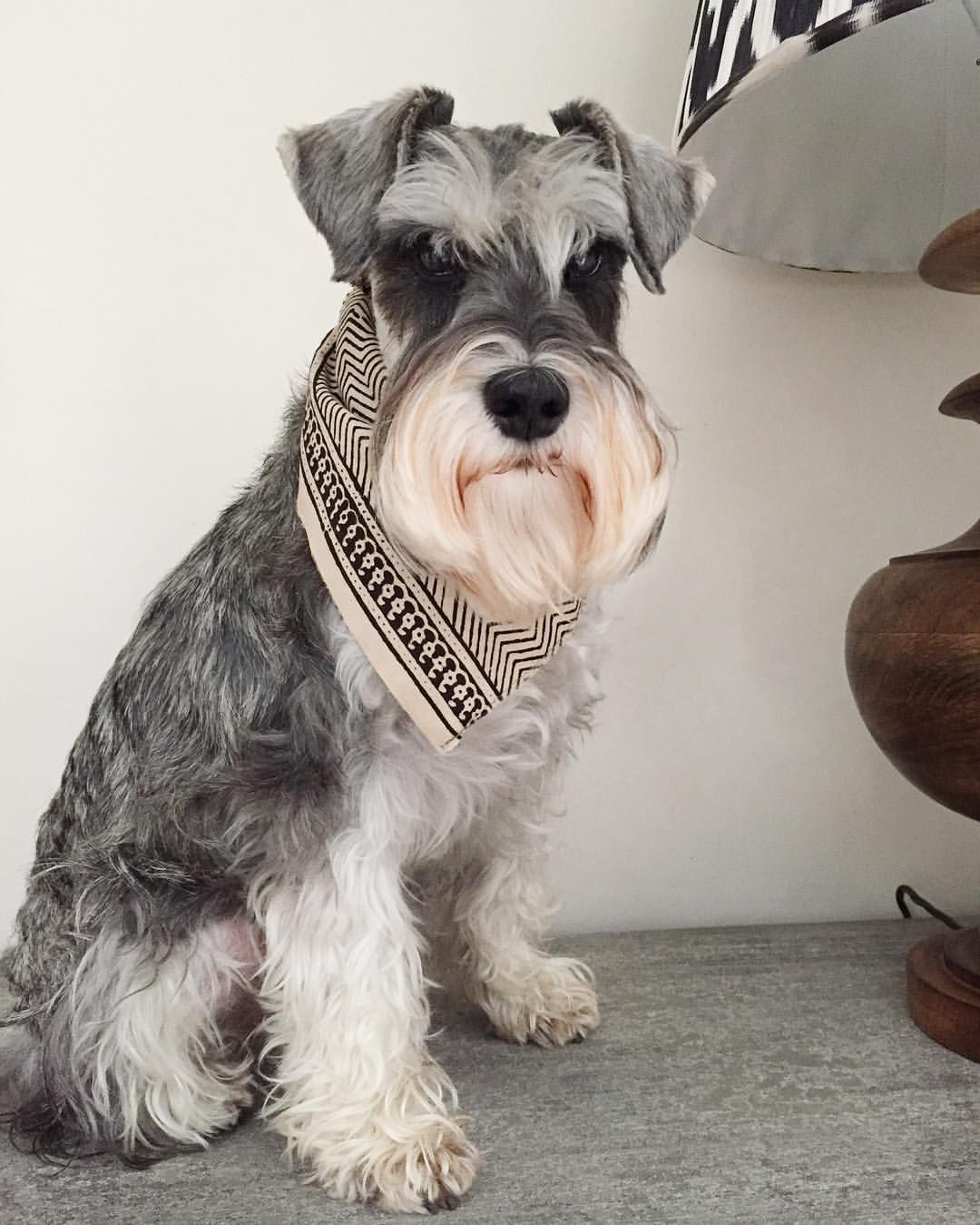 568 Likes 21 Comments Hector Pickleton Hectorpickleton On Instagram Close Up Of My Previous Post Giving I Mini Schnauzer Schnauzer Miniature Schnauzer