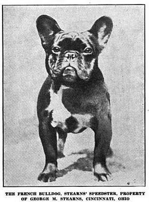 The Little French Toy French Bulldog Bulldog French Bulldog Dog