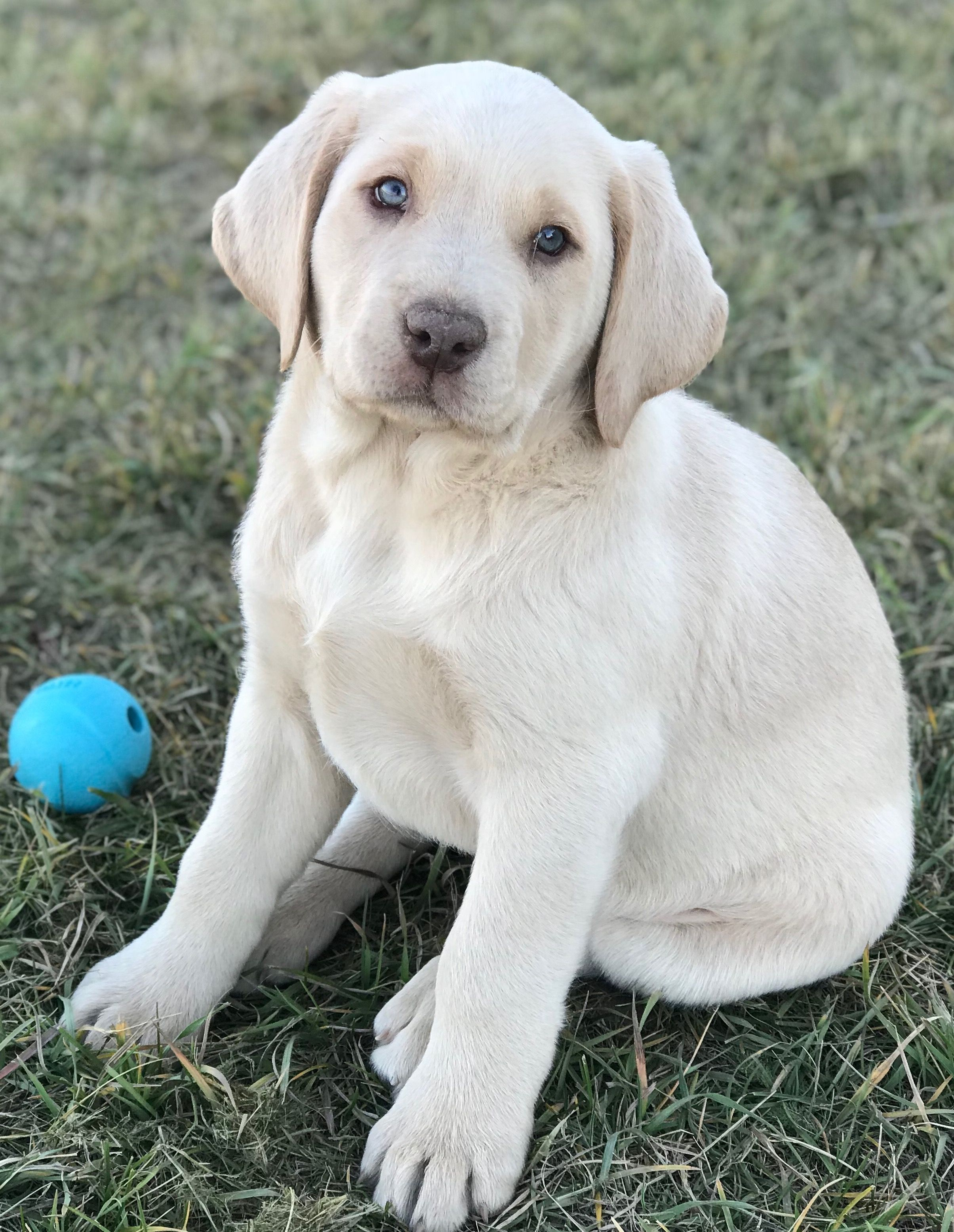 Shiloh Our Very First Champagne Labrador Labrador Retriever Labrador Labrador Puppy