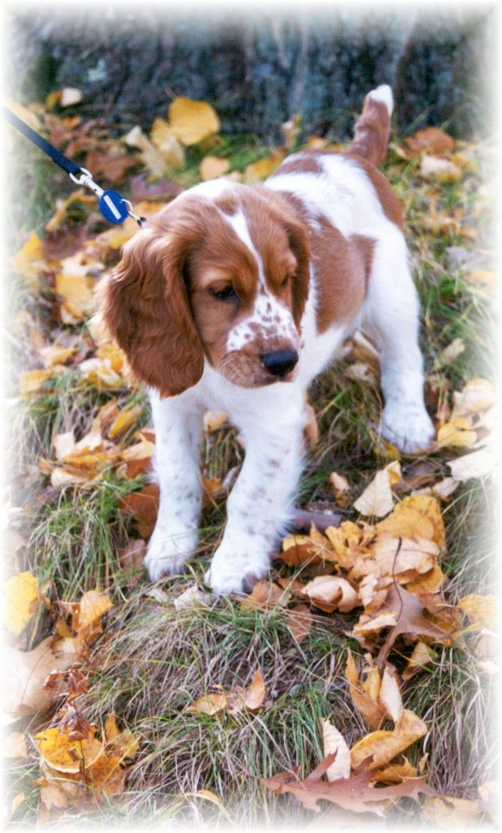 Welsh Springer Spaniels Are The Best My Boy Finn As A Pup Welsh Springer Spaniel Springer Spaniel Puppies Brittany Spaniel Dogs