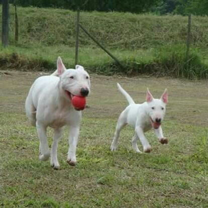 #Bullterrier.....mis amores