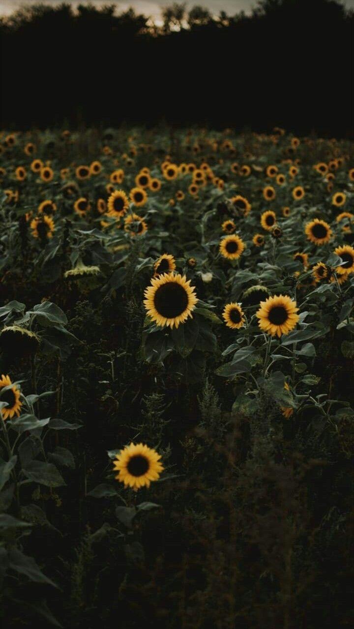 Sunflower Sunflower Iphone Wallpaper Sunflower Wallpaper Sunflower Quotes