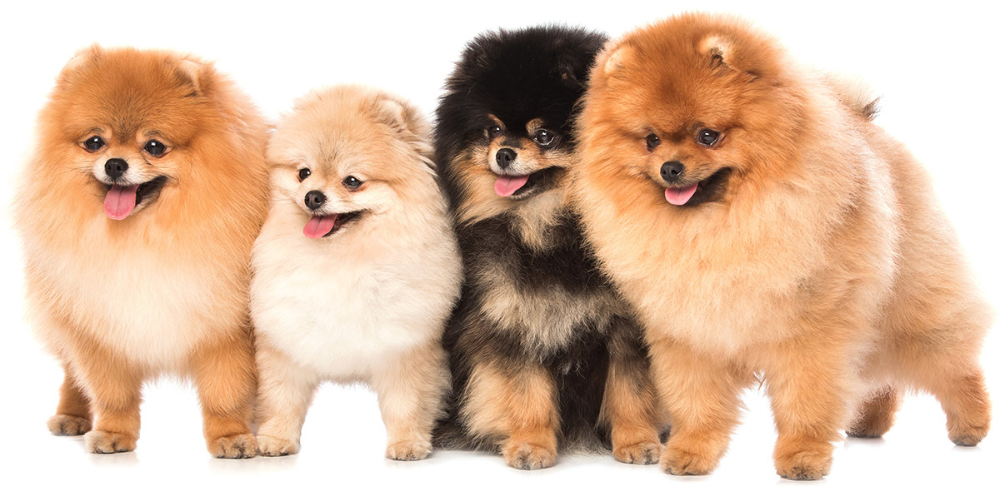Pomapoo Is The Pomeranian Poodle Mix For You? Small