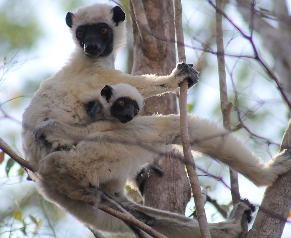 This is the Von der Decken's sifaka, or more simply called