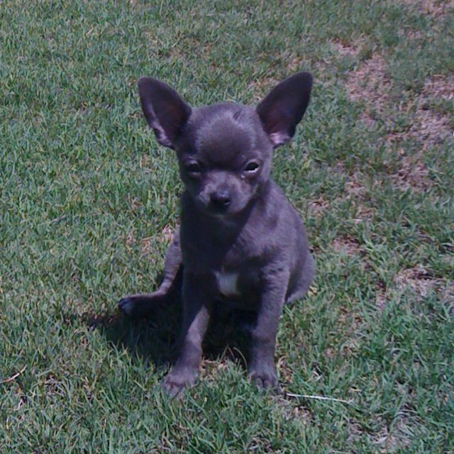 Cute blue chihuahua :) I have one of these! Weighs less ...