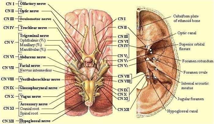 Cranial Nerves and the openings they pass through | Head and Neck ...