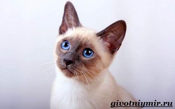 Тайская-кошка-Описание-особенности-уход-и-цена-тайской ...
