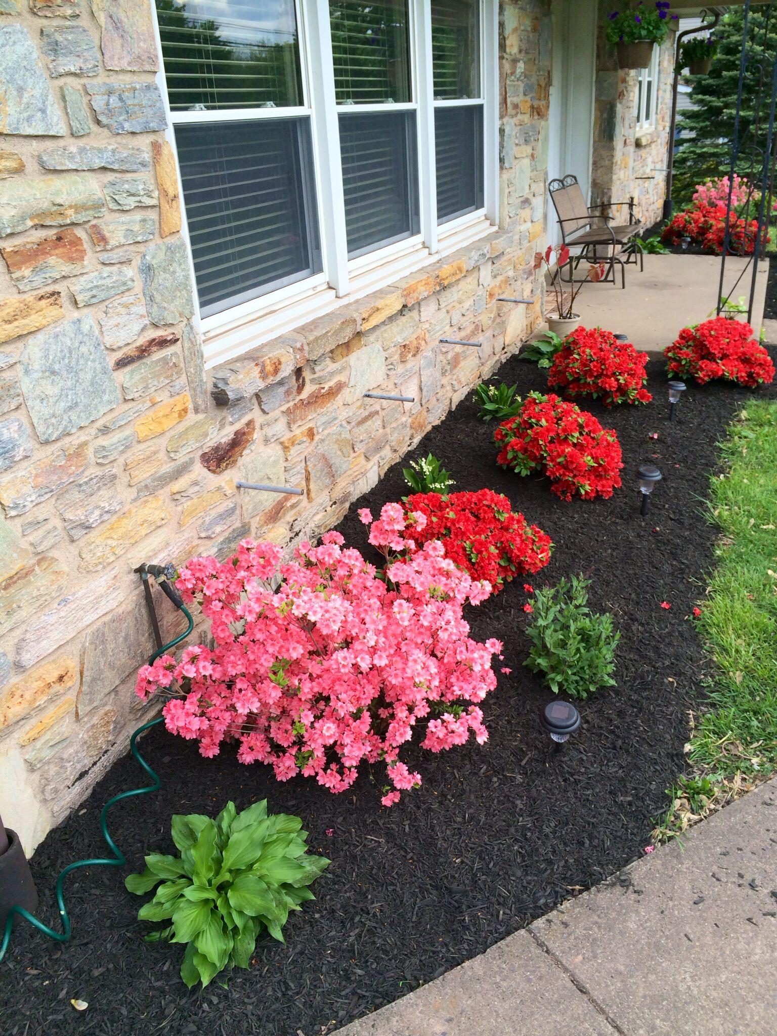 landscaping . azalea bushes