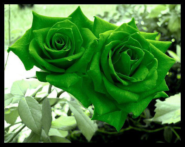 Green Roses Rose Seeds Green Rose Beautiful Rose Flowers