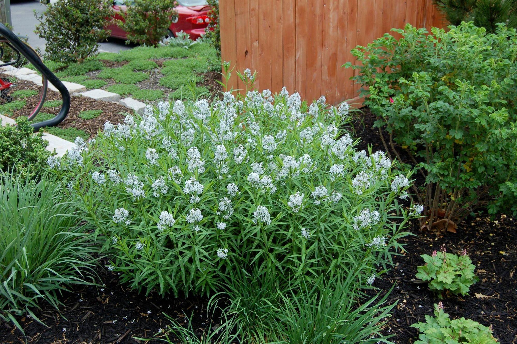 Http Shop Unquadratodigiardino It Fiori Primaverili 225 Amsonia Tabernaemontana Html Perennials Garden Design Plants