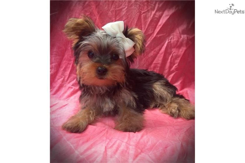 Akc Missy Yorkshire Terrier Yorkshire Terrier For Sale Yorkie Puppy For Sale