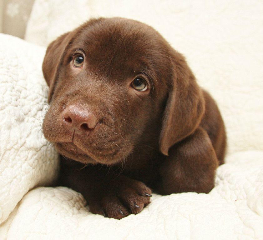 Champion chocolate yellow black labradors puppies for