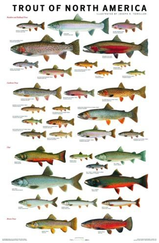 Trout Of North America Poster Fish Identification Charts Tableau De Poissons Peche Truite Peche En Riviere