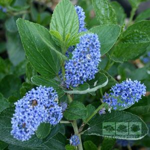 cute plants and shrubs for front of house. Ceanothus  Trewithen Blue Flower for front of house trim when warmer beg