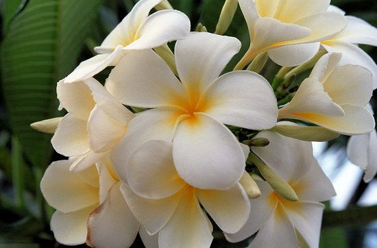 Types Of Hawaiian Flowers List Tropical What Are Flowerss